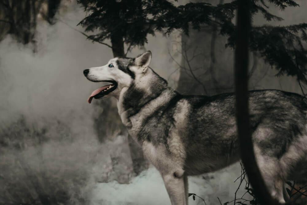 chien husky portrait dans la fumée