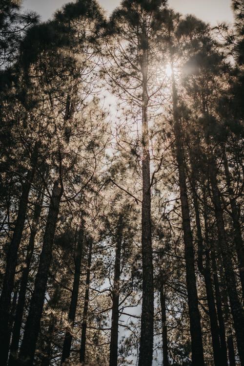 gran canaria Des pins canariens et du soleil