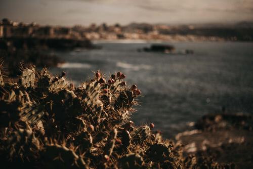 """""""Tunera"""", a.k.a. cactus Las Palmas de Gran Canaria"""